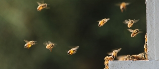 Bees flying outside of hive